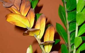 Растение сохнет